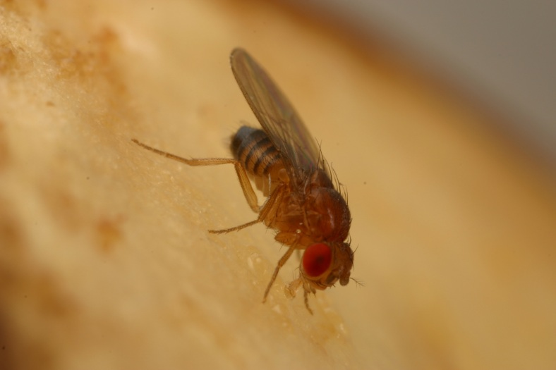 The tiny fruit fly will help Stanford scientists study the complicated genetics of type 2 diabetes. (Dahanukar Lab/UC Riverside)